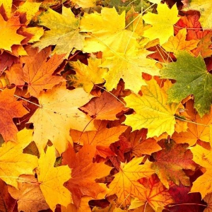 IMAGE: Fall Leaves